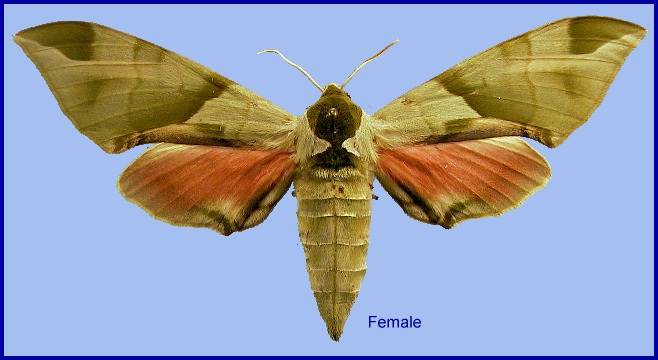 Female Callambulyx tatarinovii tatarinovii. Photo: © NHMUK