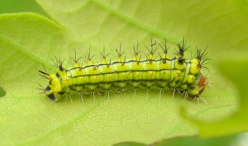 First instar larva of Antheraea yamamai, Czech Republic. Photo: Tony Pittaway.