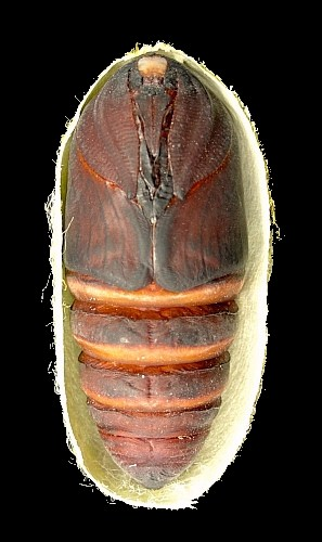 Female pupa of Antheraea yamamai, Czech Republic. Photo: Tony Pittaway.